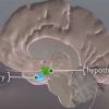 La conexión de la tiroides-Brain
