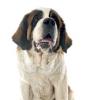 ¿Por qué los científicos quieren estudiar los gérmenes para perros